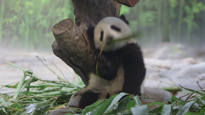 six-months-old panda.She was born in Chimelong Panda Center,one of the the best panda zoos in the world.She is living with her mother. - HD stock video clip