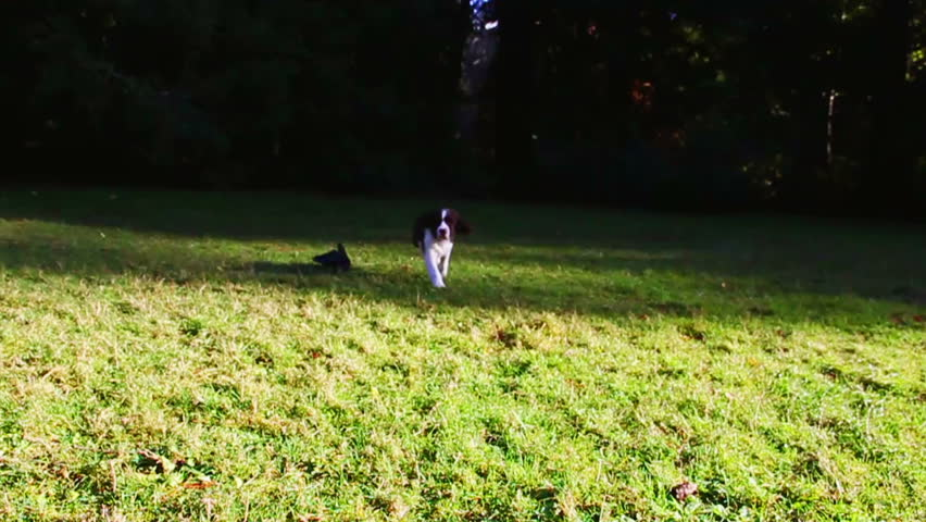 Young Springer Spaniel Puppy Running Stock Footage Video (100%  Royalty-free) 5564108 | Shutterstock