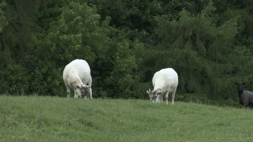 Two ewes graze. HD.