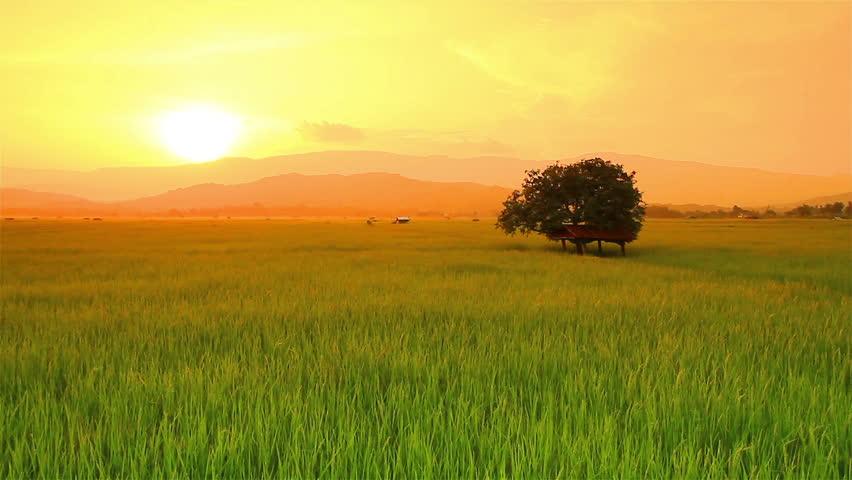 Landscape of rice farm in Thailand.: Crane shot .High quality footage - original size 4k (4096x2304)