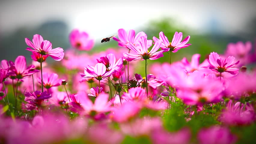 Field of pink flowers hd 100 field of pink flowers hd 1080p mightylinksfo