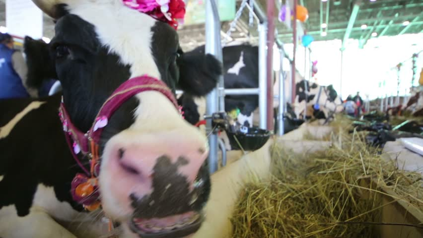 Cow looks out for fencing at agricultural exhibition