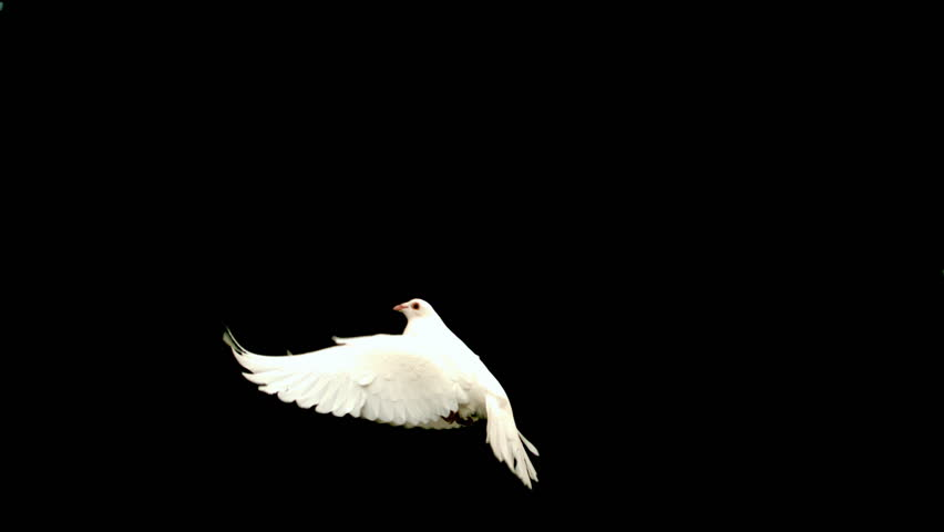 White dove flying up across black background in slow motion