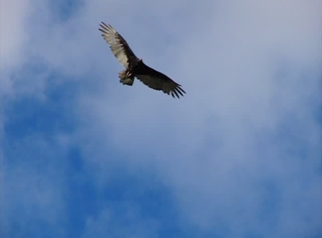 High Speed Camera : Golden Eagle 02 Flying