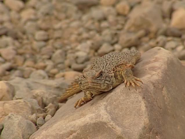 Sahara Desert Lizards