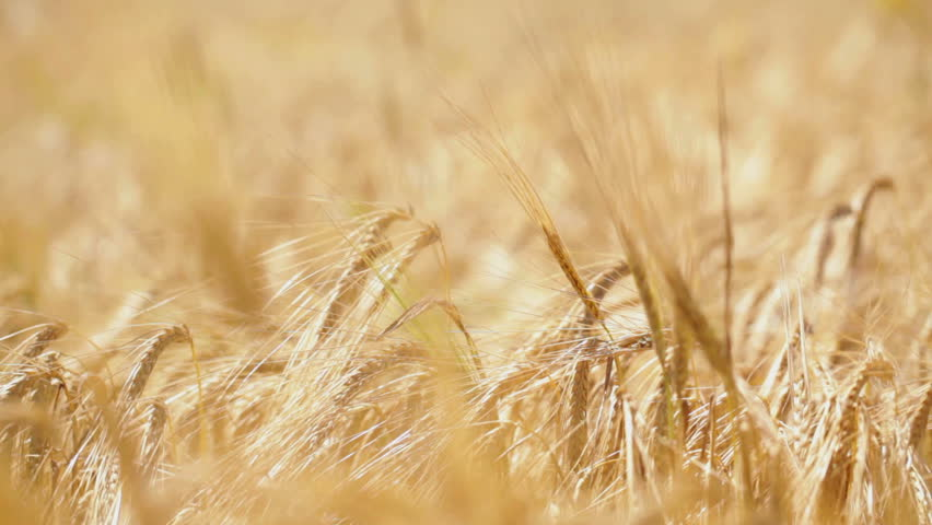 HD 1080: wheat field; stalks swinging on light wind;