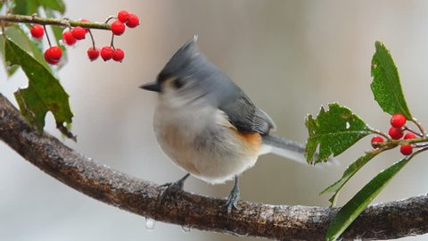 Tufted Titmouse (Baeolophus bicolor) , February in Georgia. Slow motion, 1/2 natural speed.