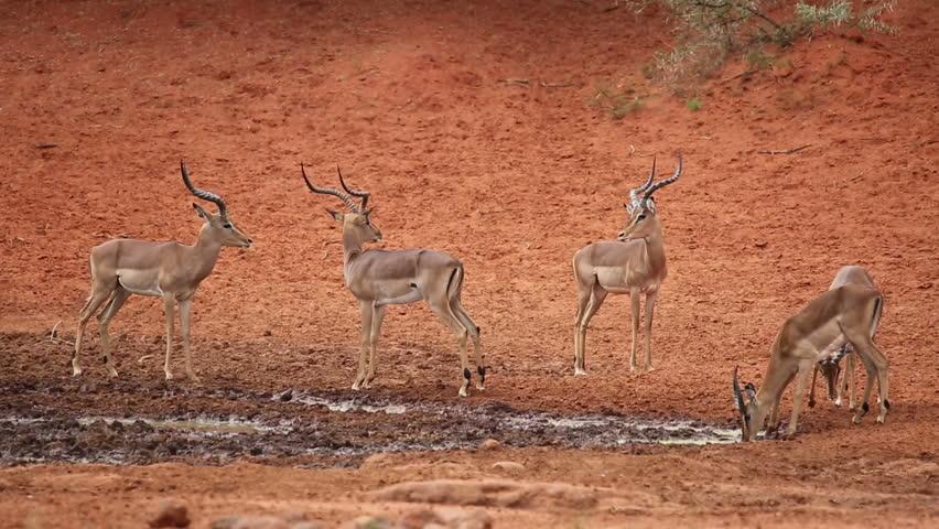 Impala african antelope