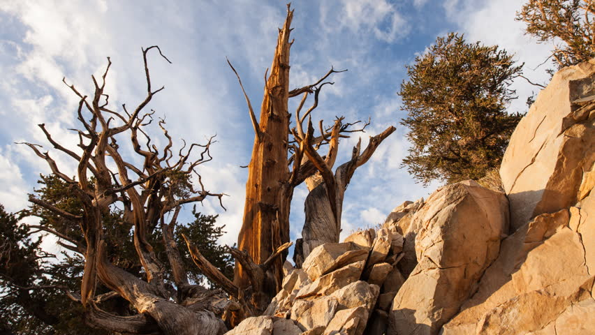 Timelapse dolly shot of an old pine at Ancient Bristlecone Pine Forest
