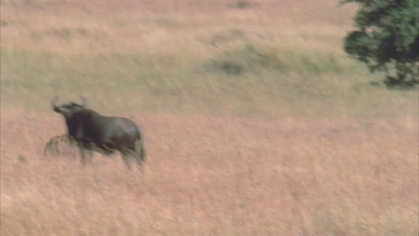 Hyena running through frame with kill, through wildebeest herd. #5757548
