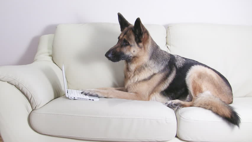 Smart German Shepherd working with netbook on the couch