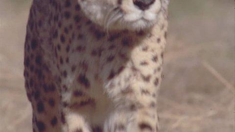 Cheetah walking towards camera cu legs cu head