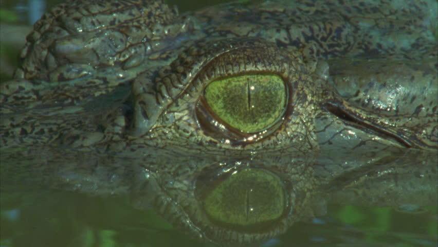 crocs eye, in profile, great shot of third eyelid passing over eye