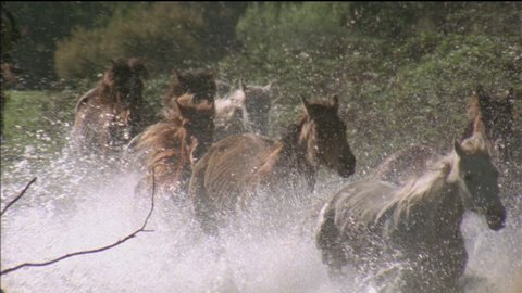 front view, brumbies, wild horses, running through water