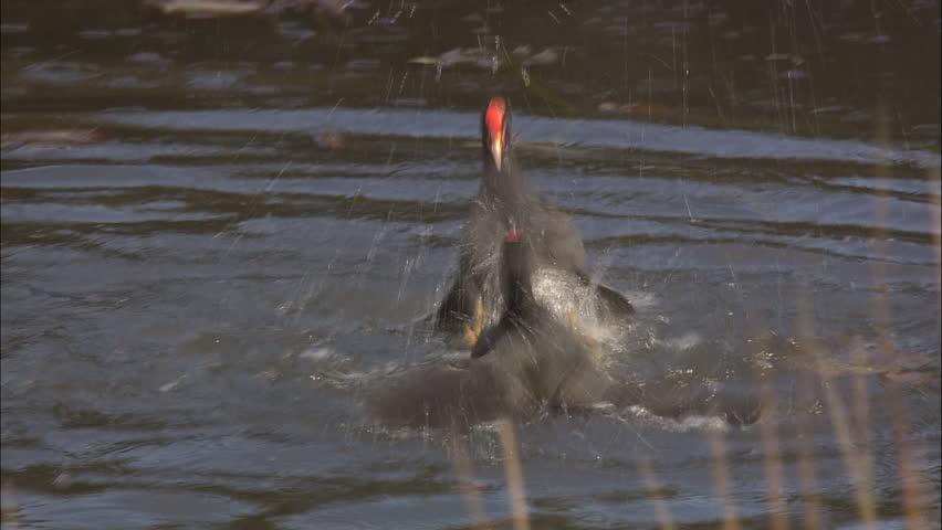 Dusky Moorhen fighting in a pond #5813528