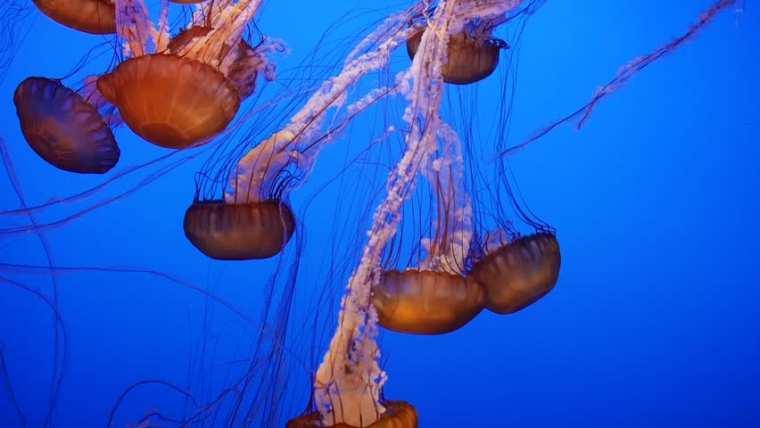 Monterey, California - January, 2014 - A group of sea nettles swimming against the blue water.