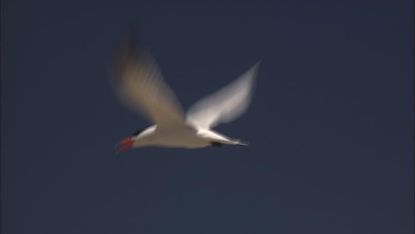 Pan Caspian Tern flying. White bird with black cap, red beak. #5855228