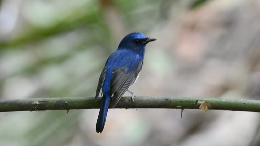 Hainan Blue Flycatcher bird sitting on the branch with nice back profile | Shutterstock HD Video #5874152