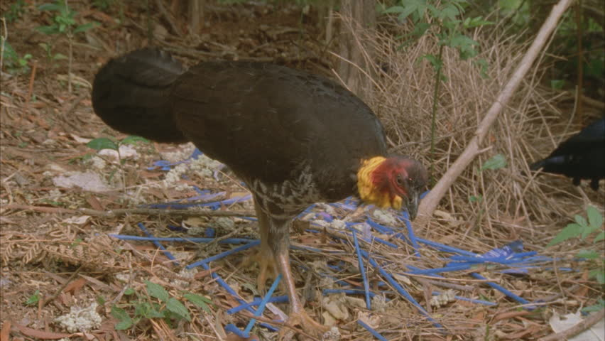 turkey scratching at bowerbirds bower and the male satin comes in to try to ward him off, scrub turkey leaves