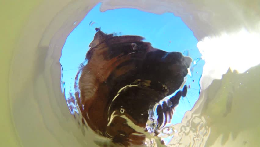 German Shepard drinking water to quench his thirst viewed from underwater