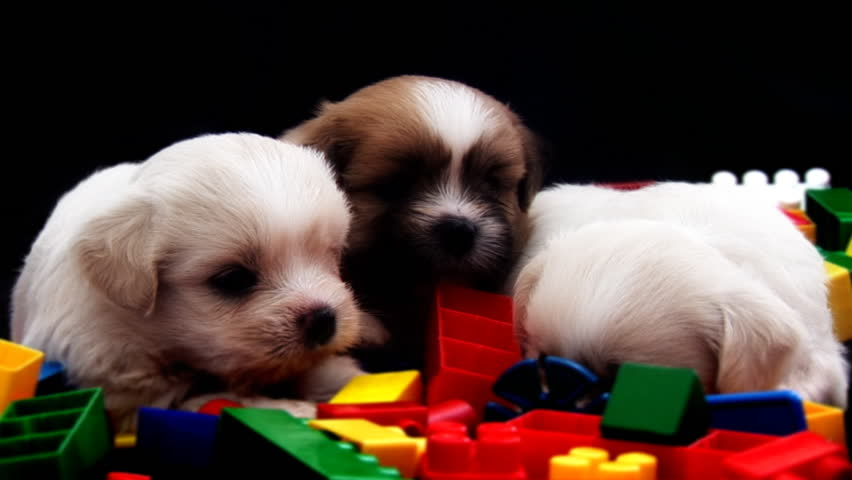 3 Cute Fluffy Puppies Hd Stock Video Clip
