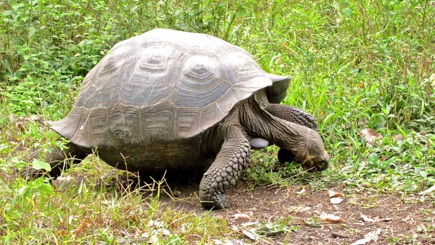Galapagos Giant Tortoise entering the scene at Rancho El Manzanillo giant tortoise area on Santa Cruz Island on the Galapagos Islands, Ecuador.