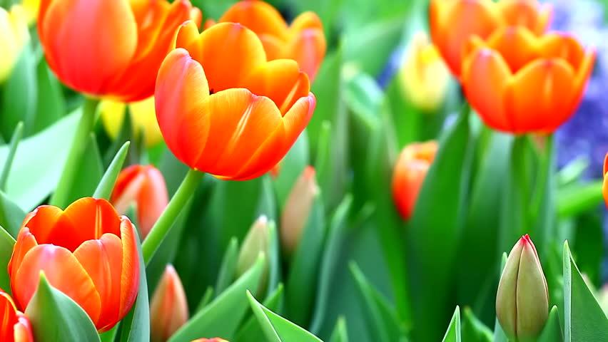 Stock Video Clip Of Beautiful Tulip Flowers In Garden, HD 1080P |  Shutterstock