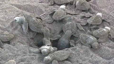 Dozens of baby olive Ridley sea turtles emerge from the sand and lay on the beach.