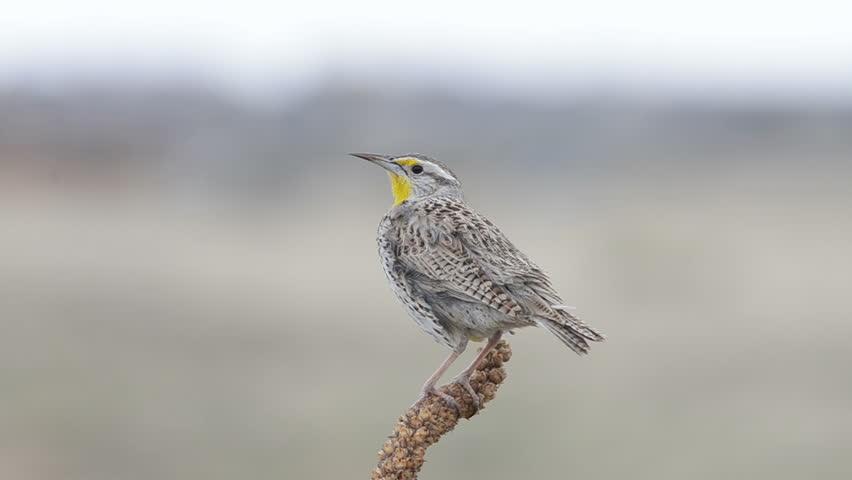 Western Meadowlark, at Chatfield state park, Colorado.  | Shutterstock HD Video #6061988