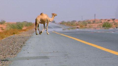 camel walk over street