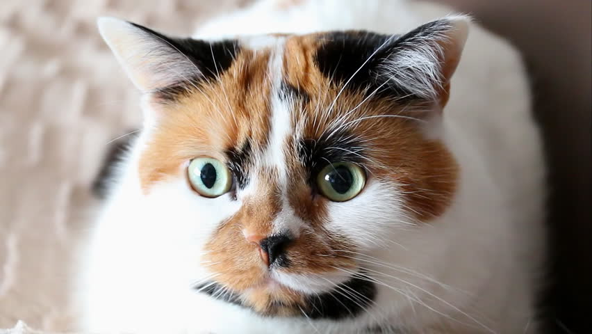 Tricolor spotted calico cat face close up. The cat turns to the camera and closes one eye for a sec like giving a wink.