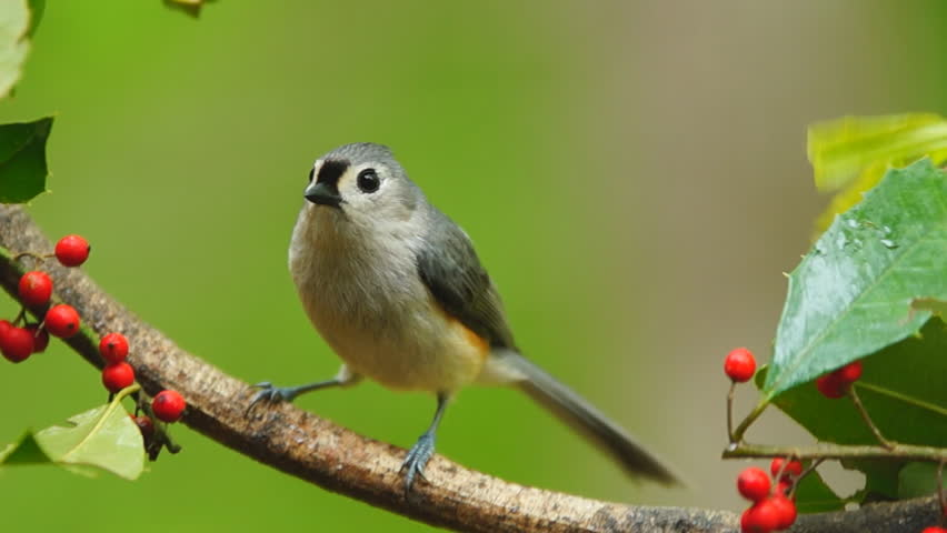 Tufted Titmouse (Baeolophus bicolor) during a spring Georgia rain. Slow motion, 1/2 natural speed.
