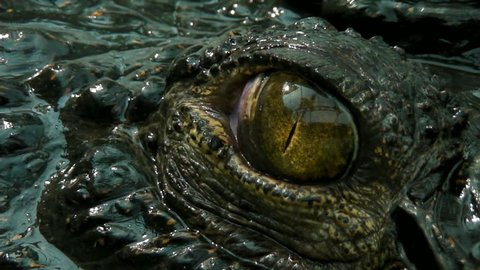 Crocodile eye
