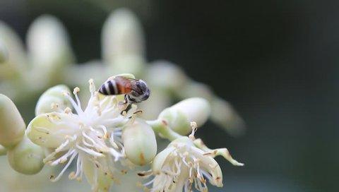 Macro, pollinating nectar wonderful  Areca catechu flower