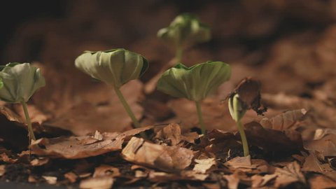 Timelapse: Beech Trees Growing From Seed To Small Plant - Baltic Sea, Northern Germany