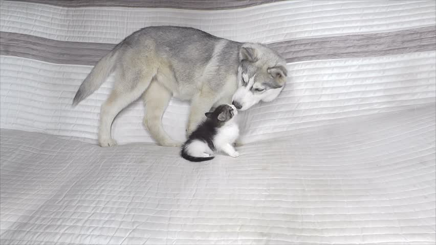 Hd00 30puppy And Kitten Are Playing On The Sofa Cute Cat And Dog