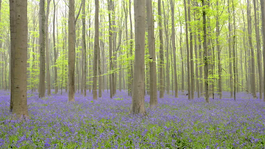 fern plant in a bluebell flowers in a beech forest during an early spring morning - Bamboo Garden 2016