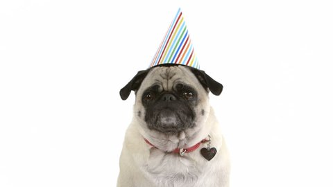 A cute pug dog in a birthday hat burps and then licks her lips.
