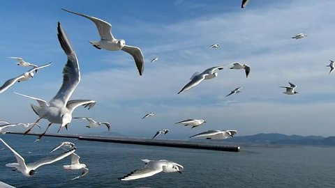 Date:March 20, 2014 ,Site:Onboard which proceeds the Kumamoto harbor,Japan /The group of the sea gull through which it glides_(2)/ It is high speed photography about the sea gull which is flying.