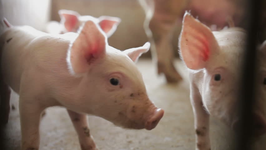 Pink piglets in pig farm, xi'an, shaanxi, china - HD stock footage clip