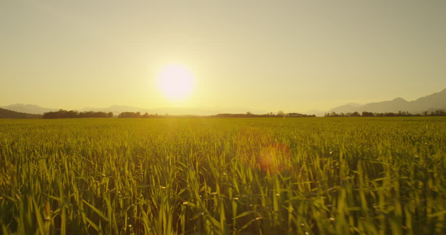 AERIAL: Low flight over wheat field at sunrise | Shutterstock HD Video #6314339