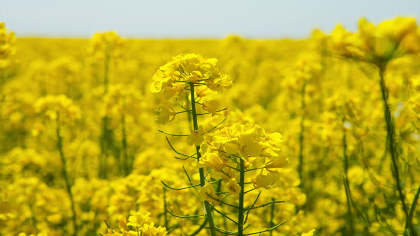 Canola flower, rape crop, background #6331631