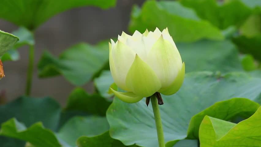 Lotus Flowers In Pondxianshaanxichina Stock Footage Video 100