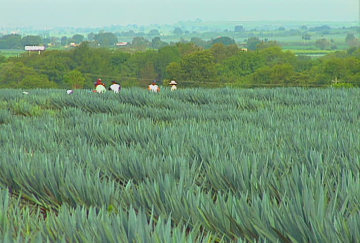 A Mexican blue agave (tequila) field, about to be harvested.
