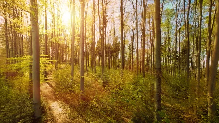Beautiful Forest Trees Sun Beam Stock Footage Video 100