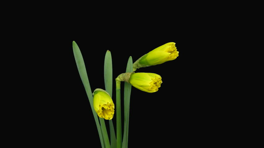 Time Lapse Of Yellow Narcissus Flowers Opening Alpha Matte 1a