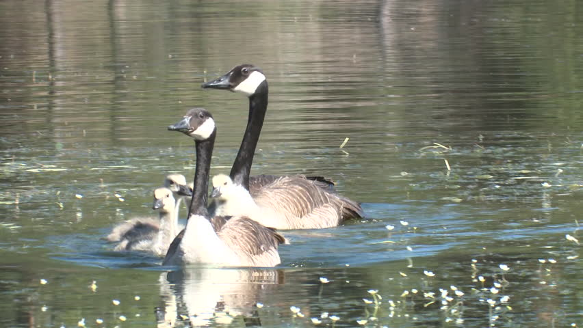 ffcb0986f2f Canada Goose Male Female Adult Chicks Family Alarmed Summer