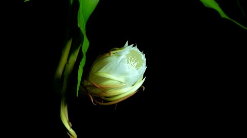 Time-lapse of blooming flower call queen of the night (Epiphyllum Oxypetalum) it will be bloom just once in the night time and lifetime