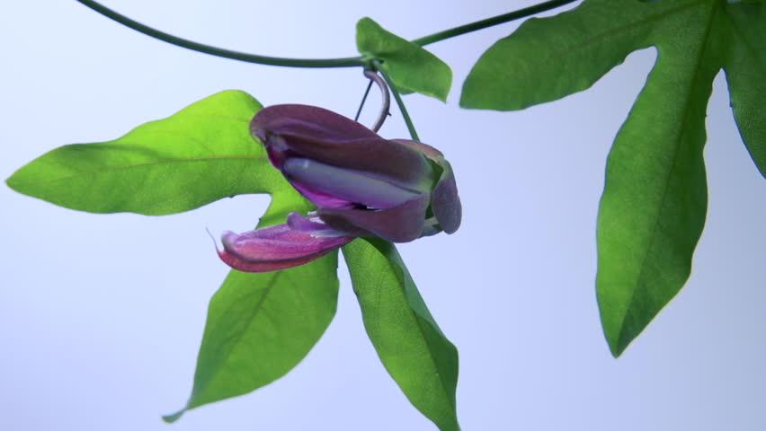 Header of Passiflora