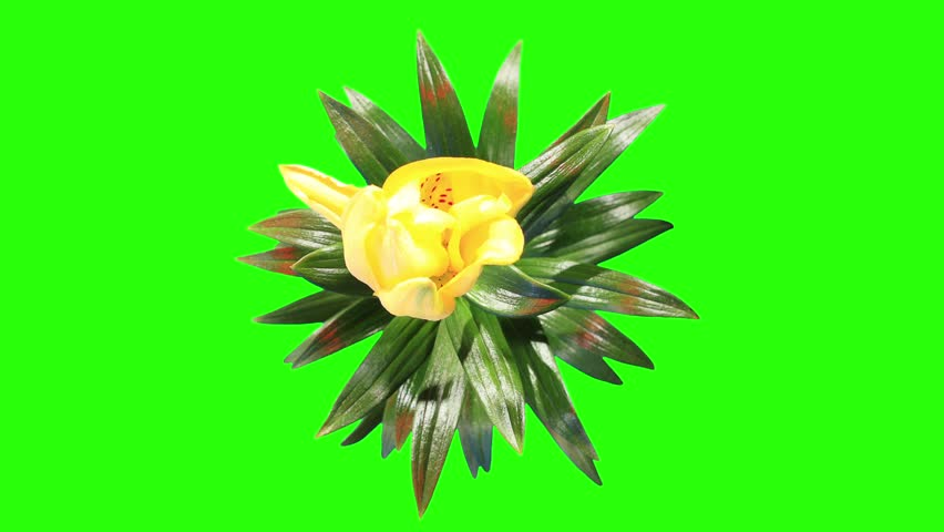 Blooming yellow lily flower buds green screen, FULL HD. (Lilium Fifty Fifty), timelapse     Shutterstock HD Video #6506168